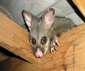 attic possum